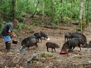 sajinos - pecaris at animal rescue center Cerelias, Peru
