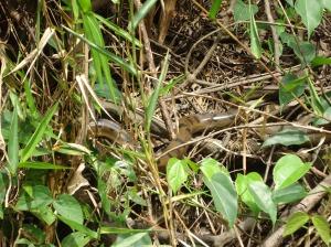 anaconda peru amazon